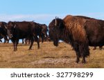 American Buffalo Bison...