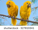 Golden Conure