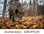 Wild Boar In The Forest  Sus...