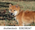 young dog shiba inu on natural... | Shutterstock . vector #328238267
