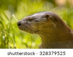 Small photo of Head and whiskers of a European Otter (lutra lutra), an endagered species in all of Western Europe
