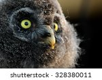 A Young Great Grey Owl Or Grea...