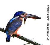 Small photo of Beautiful bird, female Blue-eared Kingfisher on feeding time isolated on white background.(Alcedo meninting)