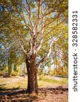 Small photo of Effect photograph of a White Poplar, Populus Alba, under a pinky sunlight