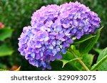 Purple Heads Of Hydrangea...