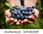 Grapes Harvest Farmers Hands Freshly - Fine Art prints