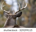 Large White Tailed Deer Buck ...