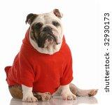 Adorable English Bulldog...