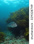 Small photo of Australasian snapper Pagrus auratus in the waters around New Zealand.