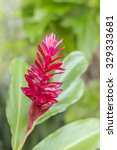 Small photo of Close-up of red ginger flower (Alpinia purpurata (Vielle.) Schum) in the garden