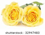 Two Big Yellow Roses Isolated...