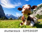 Cows At The Karwendel Mountain...