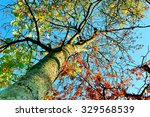 Mountain Ash Tree With Bright...