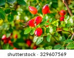 Red Rosehips Closeup In Autumn...