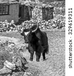 Small photo of Alone yak near Dusa village - Everest region, Nepal, Himalayas (black and white)