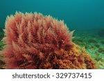 Bush Of Red Algae Moving In...