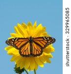 Female Monarch Butterfly...
