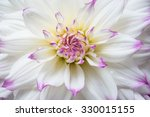 Dahlia Ferncliff  In Bloom ...