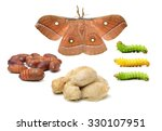 Silk Moth Life Cycle On White...
