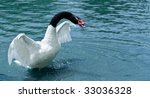 Black Necked Swan Starting To...