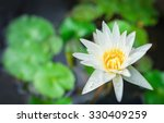 White Yellow Lotus Flower And...