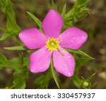 Sabatia Campestris  Meadow Pin...