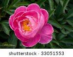 peony   Shutterstock . vector #33051553