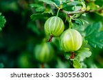 Green Gooseberries. Growing...