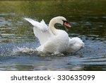 Mute Swan  Mute Swan  Cygnus...