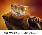 Crested Gecko Correlophus...