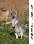 Small photo of jung red kangaroo, Megaleia rufa
