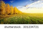 Yellow Birches On Autumn Field...