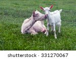 Baby Goat With Mother
