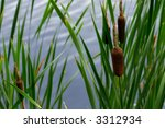 Cattails   Reeds In A Pond