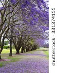 Beautiful Vibrant Jacaranda...