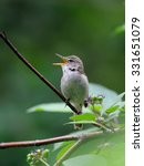 Small photo of Singing Blyth's reed warbler (Acrocephalus dumetorum)
