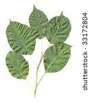 apple leaves isolated | Shutterstock . vector #33172804