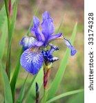 Close Up Of Purple Siberian Iris