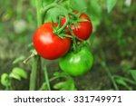 Tomatoes Growing In Garden
