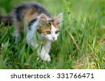 Stock photo tri colored young cat in the summer grass 331766471