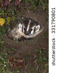 Small photo of North American Badger (Taxidea taxus) Peers Out from Den - captive animal