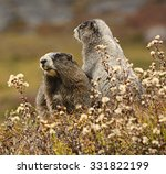 Two Hoary Marmots  Marmota...