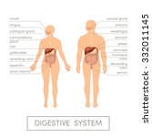 the digestive system of a human.... | Shutterstock .eps vector #332011145