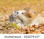 Stock photo alaskan malamute puppy kissing scottish kitten in autumn park 332079137
