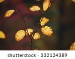Small photo of Sunlit yellow leaves of an American Elm tree appear like lanterns against a muted deep green background.