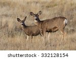 Mule Deer  Odocoileus Hemionus  ...