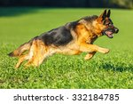 german shepherd dog running in... | Shutterstock . vector #332184785