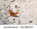 Superb Comma Butterfly ...