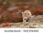 tiger in wilderness | Shutterstock . vector #332196365