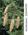 Small photo of cones and leaves of norway spruce